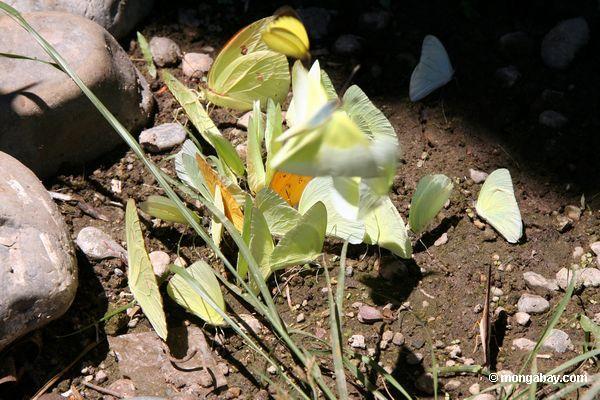 Philea de Phoebis e de menippe de Anteos borboletas no grupo grande que alimenta em minerais na lama