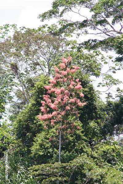 Duroia hirsuta trees in blood.