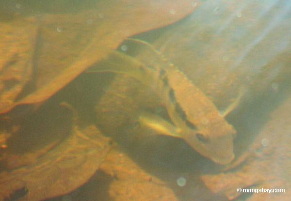 Espécie dos peixes do cichlid de Festium no creek do blackwater, seu habitat natural