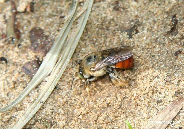 Пчела burrowing в песок
