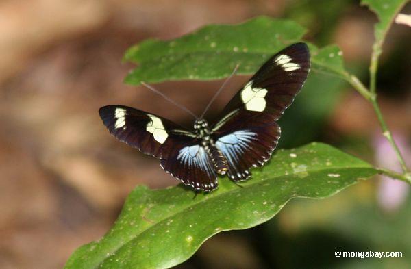 heliconius Сара бабочки