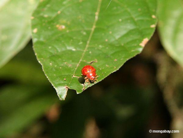 Red beetle [manu-Manu_1022_1776]
