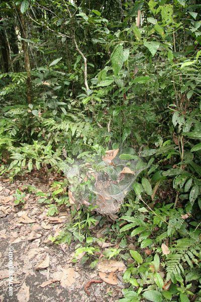 Гнездо колония пауков (семья: крестовики)