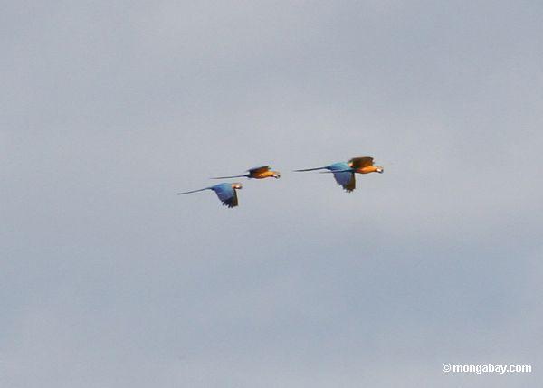 macaws Azul-e-amarelos inflight