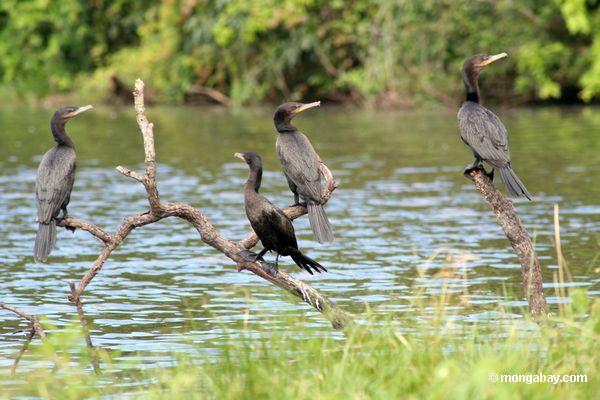 Quatro cormorants de Neotropic (olivaceus de Phalacrocorax) na filial da árvore