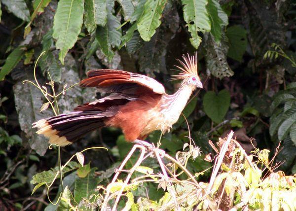 Hoatzin (hoazin de Opisthocomus) na vegetação ao longo do lago do oxbow