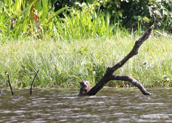 Lontra gigante do rio (brasiliensis de Pteronura)