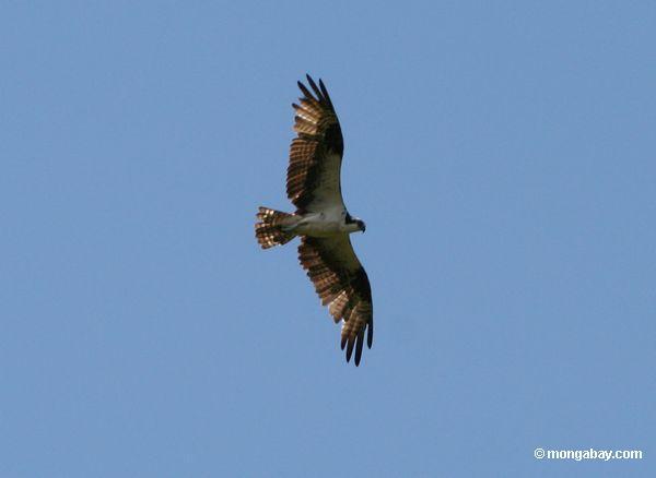 Osprey (haliaetus de Pandion)