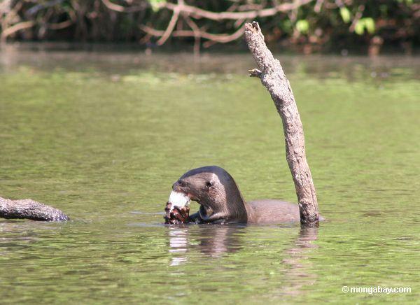 Par de lontras gigantes do rio
