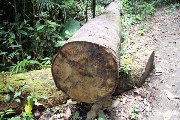 поваленных деревьев тропического леса