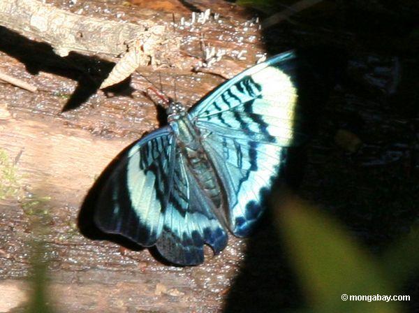 A borboleta do prola do Panacea, asas abre
