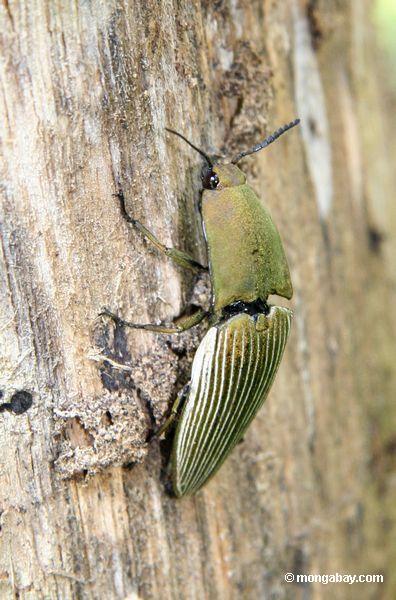 Besouro do perfurador de Ceiba