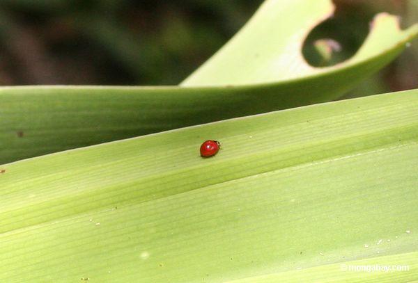 Besouro vermelho pequeno