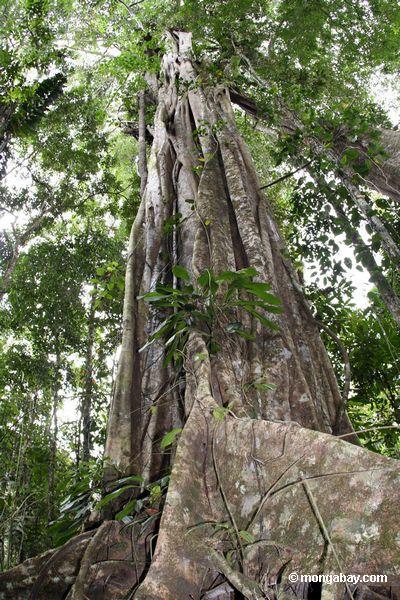 Stranglerfeigebaum-Strebepfeilerwurzeln