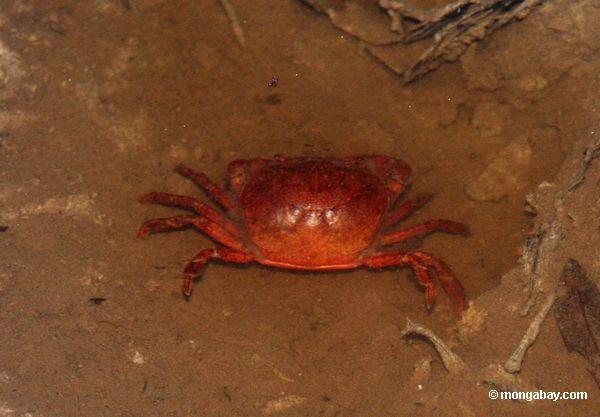 Caranguejo o mais rainforest vermelho