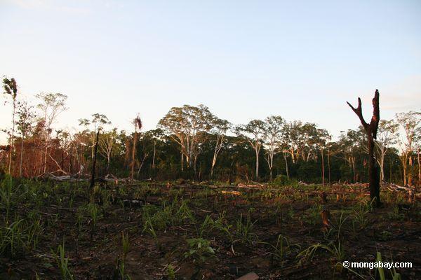 подсечно-огневого земледелия в тропических лесов