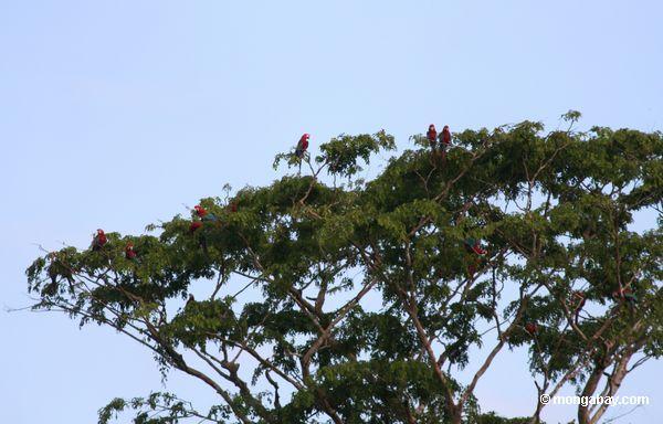 macaws Vermelho-e-verdes