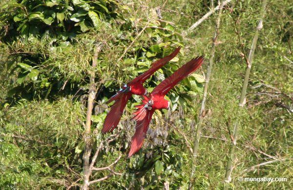 Rot-und-grüne macaws (Ara chloroptera)