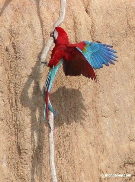 赤と緑のmacaws (アラchloroptera )