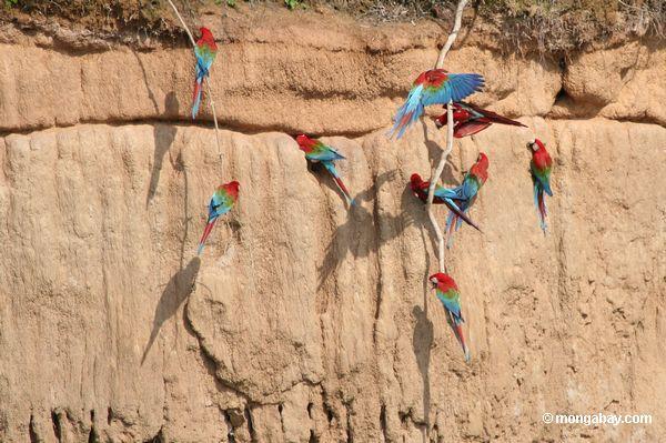 красно-зеленый macaws (Ара chloroptera)