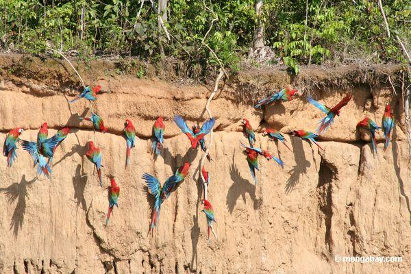 Red-and-green macaws (Ara chloroptera) eating clay in order to aid digestion. Photo by: Rhett A. Butler.