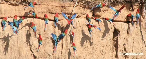 macaws Vermelho-e-verdes (chloroptera de Ara)