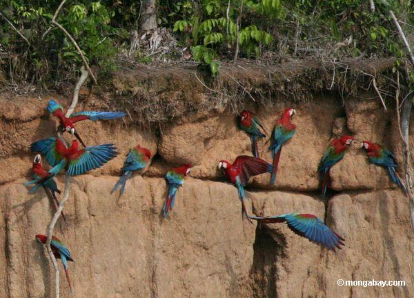 Red-and-green macaws (Ara chloroptera) at a clay lick in Manu National Park. Photo by: Rhett A. Butler.