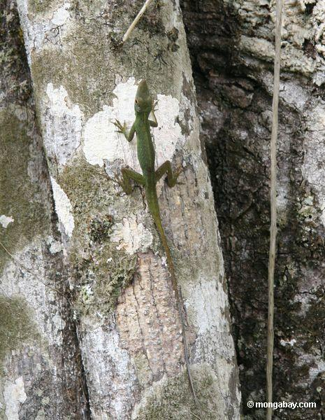 мужчины anole ящерица на ствол дерева капок