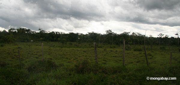 Pasto do gado na floresta de chuva de Amazon