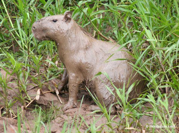 capybara полностью охвачены в грязи на берегу реки Рио-Тамбопата