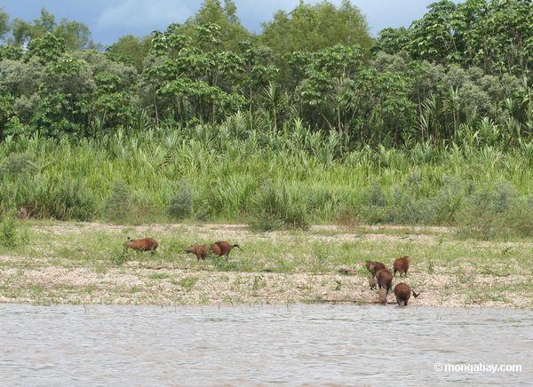 Família de Caprbara que sae do rio de Tambopata
