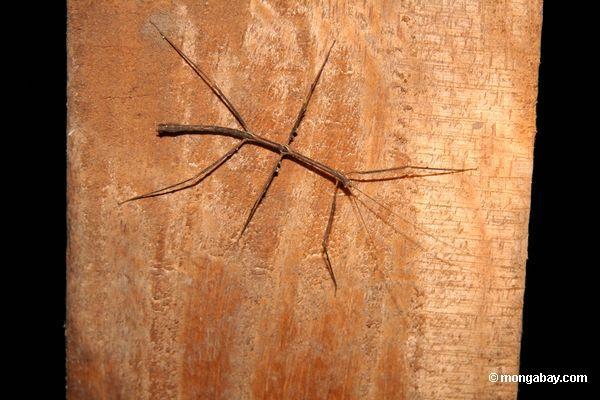 Dünnes Stockinsekt auf Baumstamm