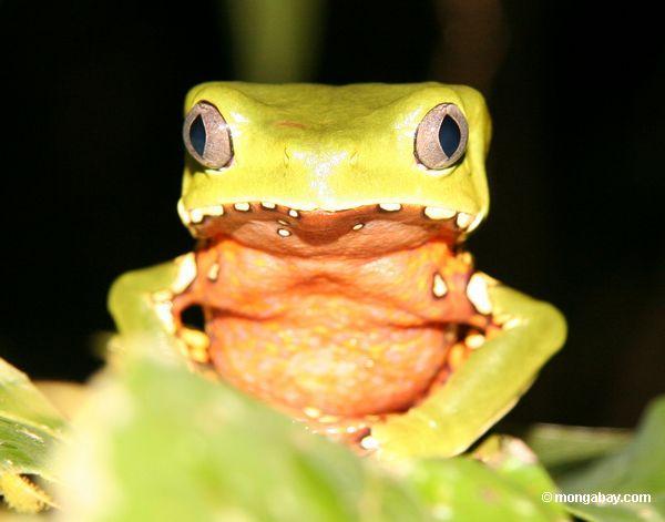 La rana arborícola Phy-llomedusa bicolor de Perú