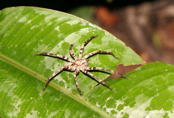 тропических пауков