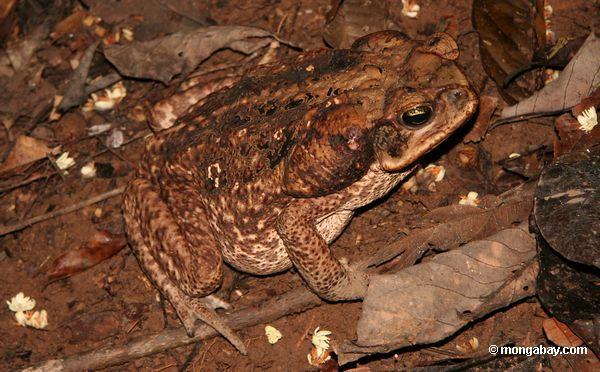 тростник жаба (Bufo Маринус) в дикой природе