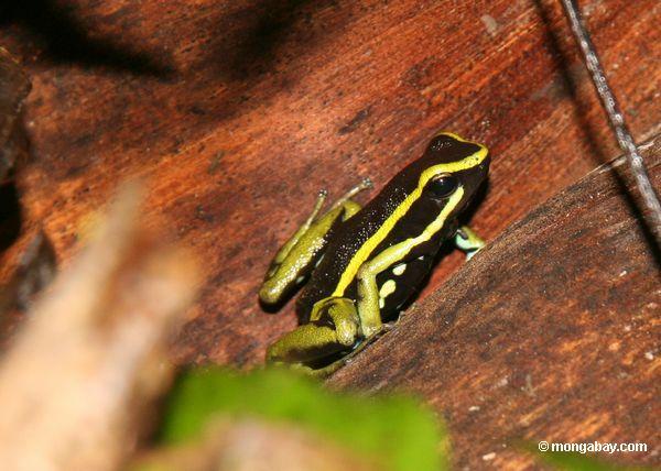 трех полосатых яд ринуться лягушка (epipedobates trivittatus)