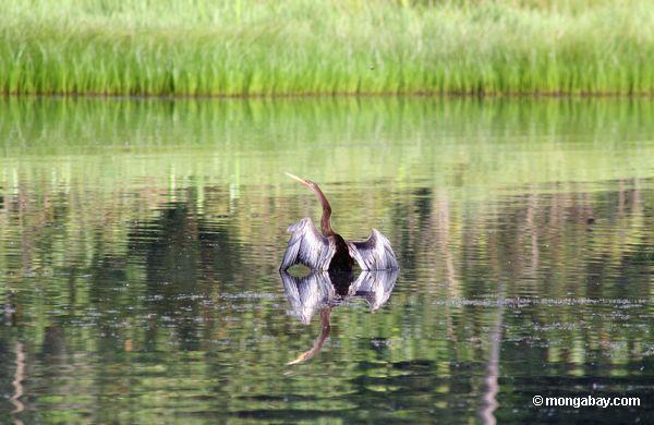 Neotropic cormorant (olivaceus de Phalacrocorax) no lago Oxbow