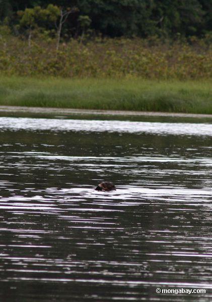三日月湖chimbadasトレスの巨大な川カワウソ( pteronura brasiliensis )