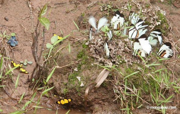 caeruleuptychiaロベリア、 perrhybrisパメラと黄色と黒蝶