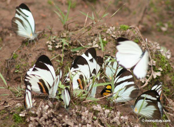 Группа мужчин perrhybris Памела бабочек, питающихся в глинистые минералы вдоль Рио-Тамбопата
