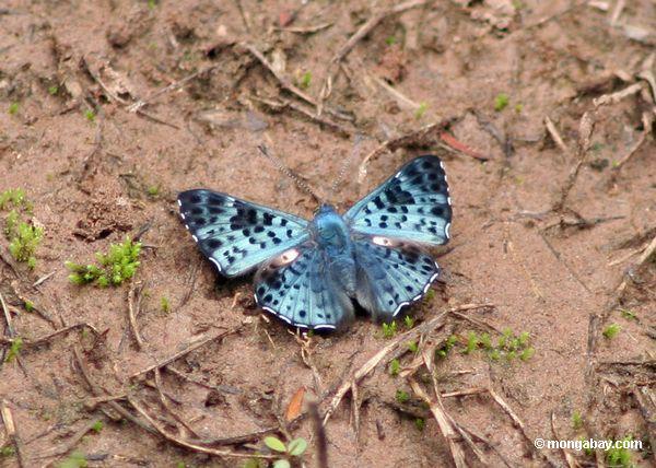 lasaia agesilas бабочки