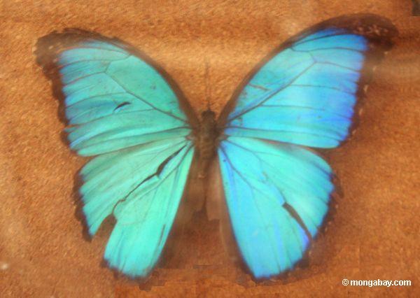 Borboleta azul do morpho (menelaus de Morpho)