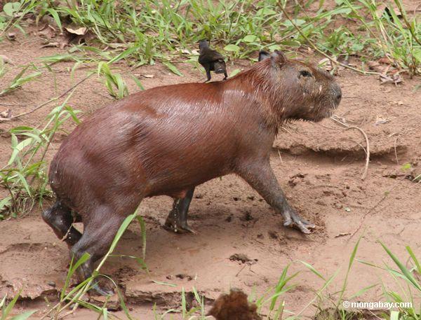 capybara оставляя воду с птицей на спине
