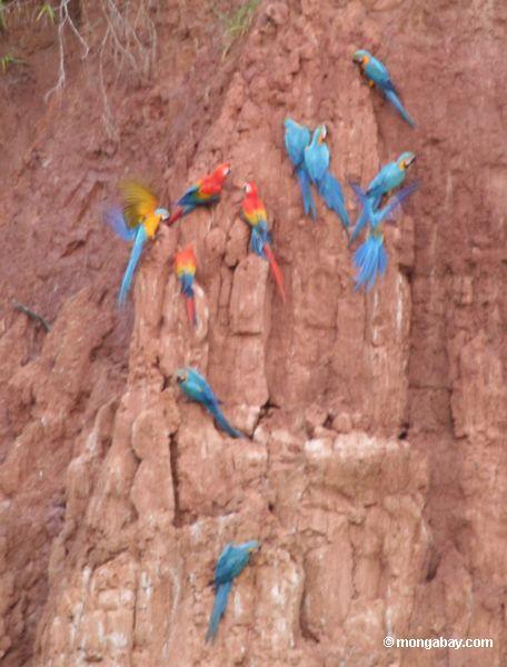 Macaws que alimenta na parede da argila