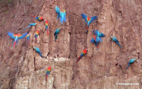 macaws питания на глиняных лизать