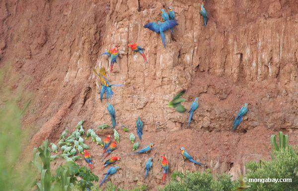macaws Azul-e-amarelos (ararauna de Ara), papagaios Amarelo-coroados (ochrocephala de Amazona), e macaws do Scarlet que alimentam na argila