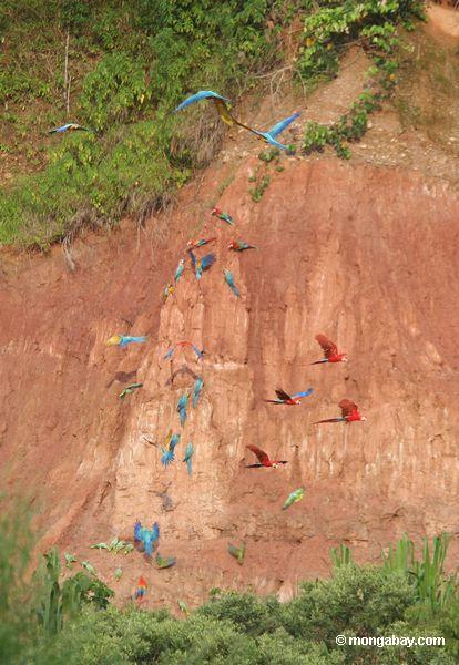 macaws Azul-e-amarelos (ararauna de Ara), papagaios Amarelo-coroados (ochrocephala de Amazona), macaws Vermelho-e-verdes e macaws do Scarlet que alimentam na argila