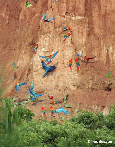 Blue-and-yellow macaws (Ara ararauna); Yellow-crowned parrots (Amazona ochrocephala); and Scarlet macaws feeding on clay