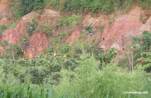 Grupo grande dos papagaios e de voar dos macaws