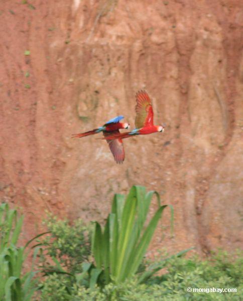 Par de macaws do Scarlet (Ara macao)